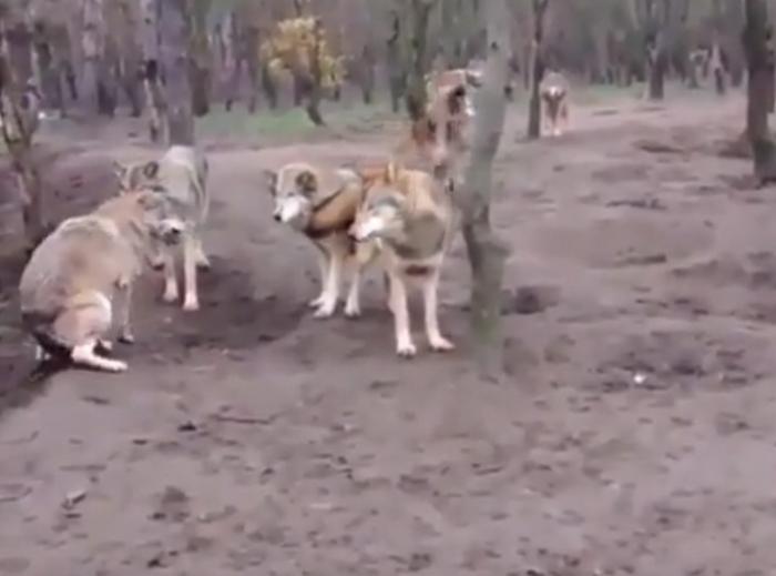 tlsZM0D4 Видеофакт: Стая волков напала на своего сородича