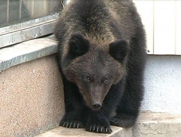 Шесть медведей замечены на окраине города Мирный в Якутии